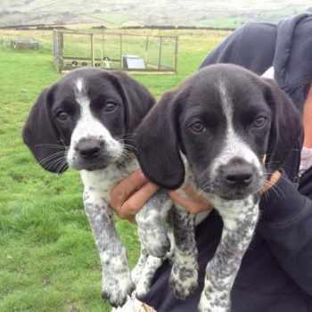 Beagle Spaniel Mix Puppies