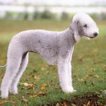 Bedlington Terrier Price