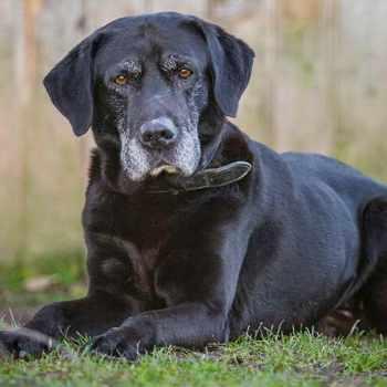 Best Dog Food For Senior Labrador Retrievers