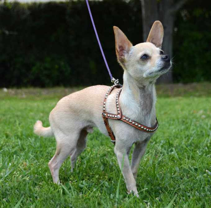 Best Dog Harness For Chihuahua