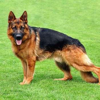 Best German Shepherd In The World