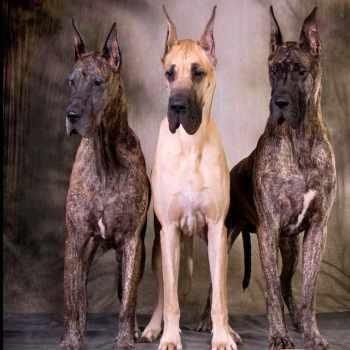 Best Great Dane Breeders