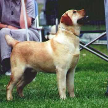 Best Labrador Breeders In California