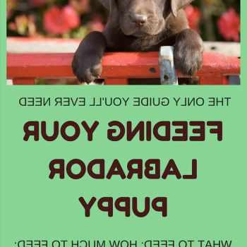 Best Labrador Food