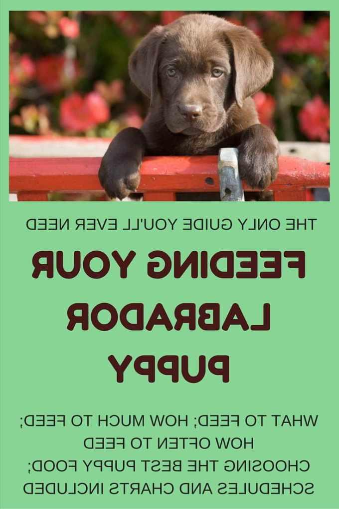 Best Labrador Puppy Food
