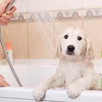 Best Shampoo For Golden Retriever