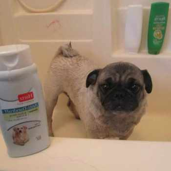 Best Shampoo For Pug Dogs
