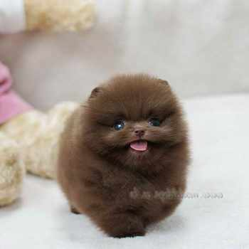 Best Toys For Pomeranian Puppies