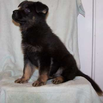 Bi Color German Shepherd Puppies For Sale