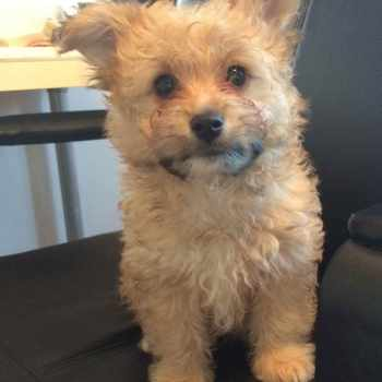 Bichon Frise Cross Pomeranian Puppies For Sale