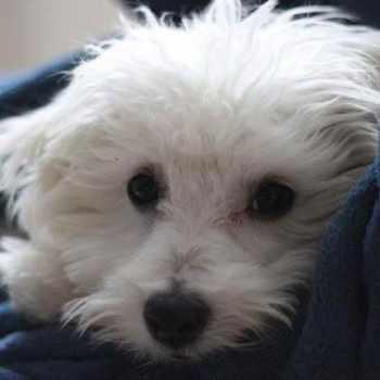 Bichon Terrier Mix