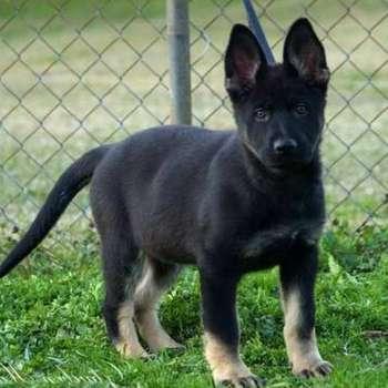 Bicolor German Shepherd Puppies