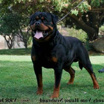 Big German Rottweiler Puppies For Sale
