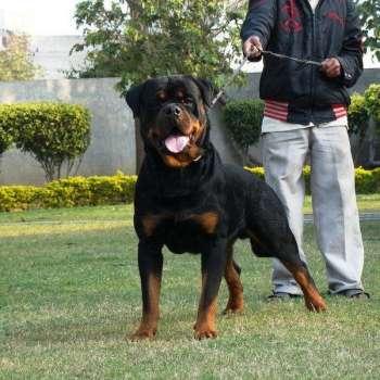Big German Rottweiler