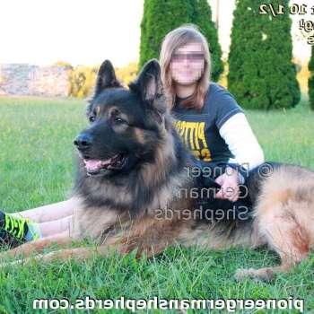 Biggest German Shepherd Breed