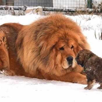 Biggest Tibetan Mastiff