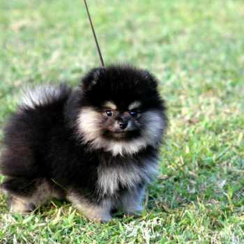 Black And Brown Pomeranian Puppies For Sale