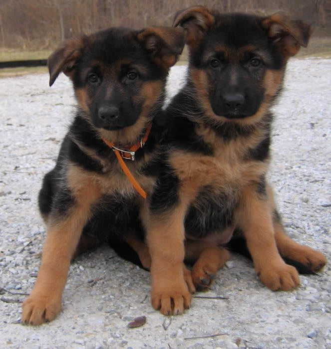 Black And Red German Shepherd Puppies For Sale