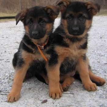 Black And Red German Shepherd Puppies