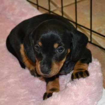 Black And Tan Dachshund Puppies For Sale