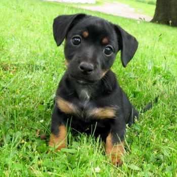 Black And Tan Jack Russell Terrier Breeders