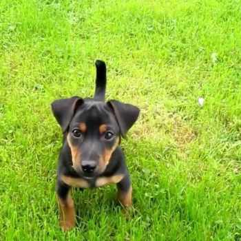 Black And Tan Jack Russell Terrier