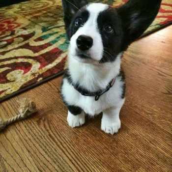 Black And White Corgi Puppies For Sale