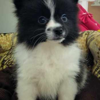 Black And White Parti Pomeranian Puppies For Sale