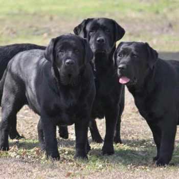 Black English Labrador Puppies