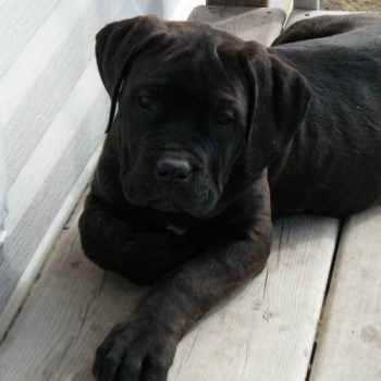 Black English Mastiff Puppies