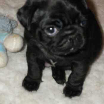 Black Female Pug Puppy For Sale