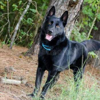Black German Shepherd For Adoption