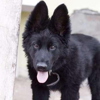 Black German Shepherd Kennels