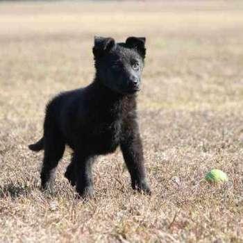 Black German Shepherd Puppies For Sale In Ct