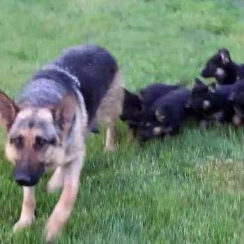 Black German Shepherd Puppies For Sale In Ga