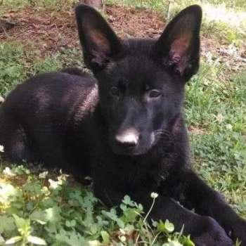 Black German Shepherd Puppies For Sale In Virginia