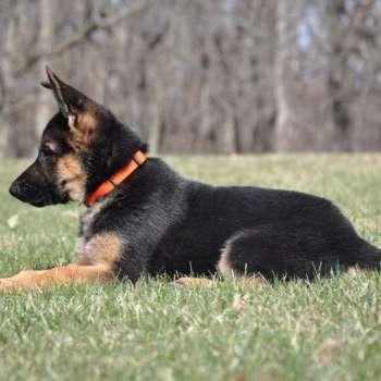 Black German Shepherd Puppies Illinois