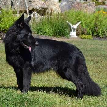 Black German Shepherd Rescue