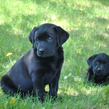 Black Labrador Breeders
