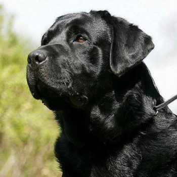 Black Labrador Dog Price