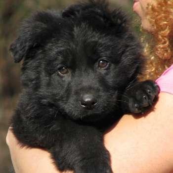 Black Long Haired German Shepherd Puppies