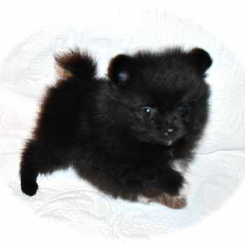 Black Pomeranian Puppies For Sale Near Me