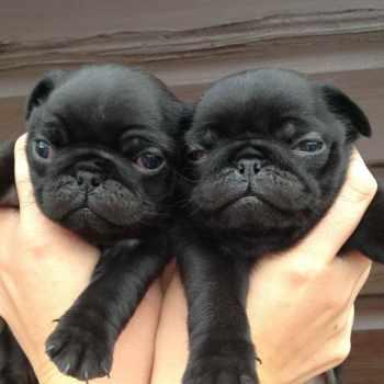 Black Pug Dogs For Sale