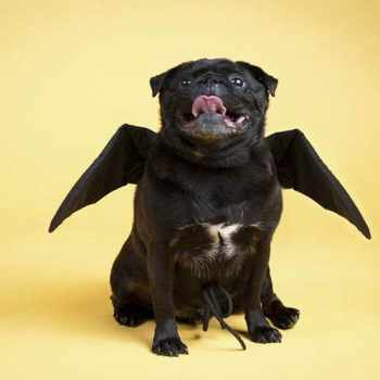 Black Pug Halloween Costume