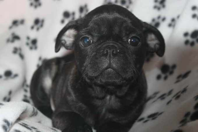 Black Pug Puppies For Sale In Nj