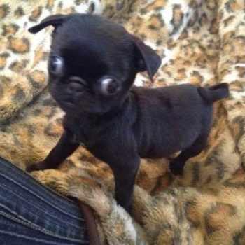 Black Pug Puppies For Sale In Ohio