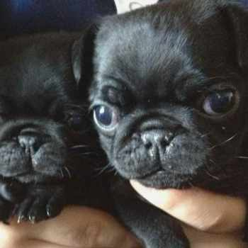 Black Pug Puppies For Sale In Texas