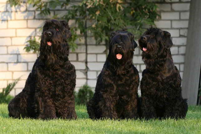 Black Russian Terrier Price