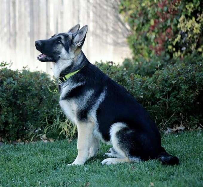 Black Silver German Shepherd