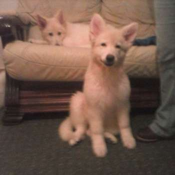 Blonde German Shepherd Puppies